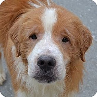Golden Retriever Mix Dog for adoption in Roanoke, Virginia - Memphis