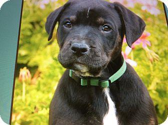 German Shepherd Dog/Labrador Retriever Mix Puppy for adoption in Los Angeles, California - TATE VON TASHA