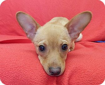 Chihuahua/Terrier (Unknown Type, Small) Mix Puppy for adoption in Spring Valley, New York - Rufus