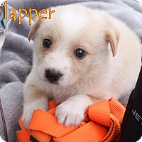 Adopt A Pet :: Flapper - Austin, TX