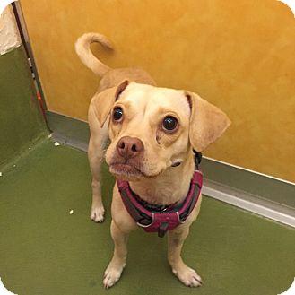 Chihuahua/Pug Mix Dog for adoption in San Francisco, California - Delilah