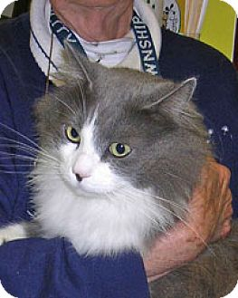 Domestic Longhair Cat for adoption in Island Heights, New Jersey - Remington