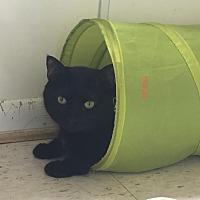 Domestic Shorthair Cat for adoption in Richboro, Pennsylvania - Colin Hanks