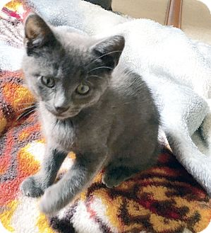 Domestic Shorthair Kitten for adoption in Arlington/Ft Worth, Texas - Kodiak