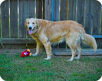 Golden Retriever Dog for adoption in New Canaan, Connecticut - Max and Molly