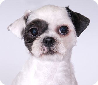 Shih Tzu Dog for adoption in Chicago, Illinois - Bella