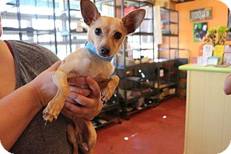Chihuahua Mix Dog for adoption in New Orleans, Louisiana - Rixson