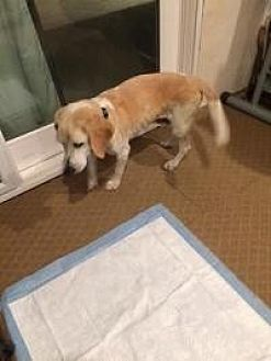 Beagle/Hound (Unknown Type) Mix Dog for adoption in Creston, California - Daisy