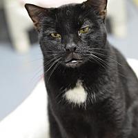 Domestic Shorthair Cat for adoption in Atlanta, Georgia - Sammi161003