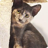 Adopt A Pet :: Io - Lincoln, NE