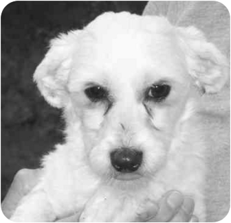 Havanese Dog for adoption in Fanwood, New Jersey - Angel