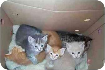 Domestic Mediumhair Kitten for adoption in Sugar Land, Texas - New Kittens