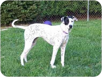 Dalmatian Mix Dog for adoption in Milwaukee, Wisconsin - Flower