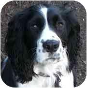 English Springer Spaniel Dog for adoption in Minneapolis, Minnesota - Jack (MN)