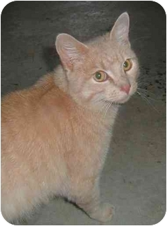 Domestic Shorthair Cat for adoption in Troy, Ohio - Markley