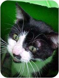 Domestic Shorthair Cat for adoption in Romulus, Michigan - SENECA