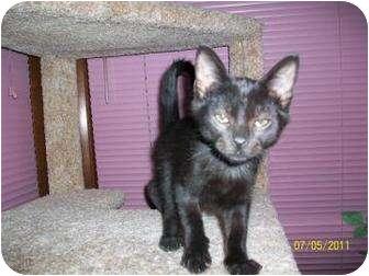 Domestic Shorthair Kitten for adoption in Larned, Kansas - Burleo