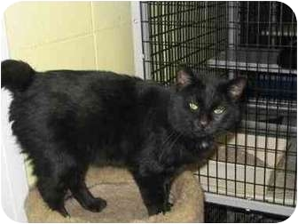 Domestic Mediumhair Cat for adoption in South Elgin, Illinois - Rambler