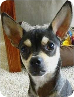 Chihuahua Mix Dog for adoption in Kingwood, Texas - Pan