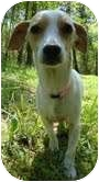 Italian Greyhound Mix Dog for adoption in Foster, Rhode Island - Mama Buttercup-Reduced Fee!