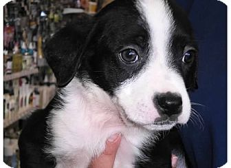 Collie/Hound (Unknown Type) Mix Puppy for adoption in Pompton Lakes, New Jersey - Oreo
