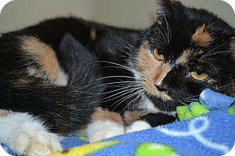 Domestic Shorthair Cat for adoption in Edwardsville, Illinois - California