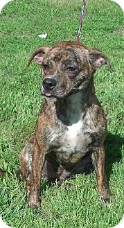 Boston Terrier Mix Dog for adoption in Moulton, Alabama - Teeny