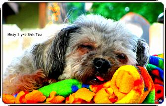 Shih Tzu Mix Dog for adoption in Columbia Heights, Minnesota - Misty
