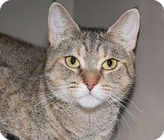 Domestic Shorthair Cat for adoption in Elmwood Park, New Jersey - Marge