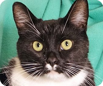 Domestic Shorthair Cat for adoption in Renfrew, Pennsylvania - Boots