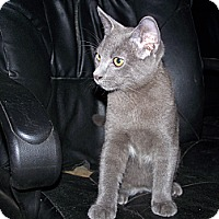 Adopt A Pet :: Pewter - Morriston, FL