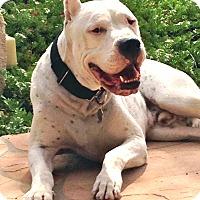 Adopt A Pet :: Drago - Phoenix, AZ