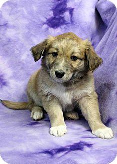 Terrier (Unknown Type, Small) Mix Puppy for adoption in Westminster, Colorado - Socks