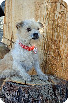 Terrier (Unknown Type, Small) Mix Dog for adoption in Mountain Center, California - Carlie