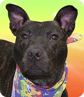 Basenji/Staffordshire Bull Terrier Mix Dog for adoption in Cincinnati, Ohio - Indie