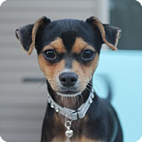 Adopt A Pet :: Cameo - Phoenix, AZ