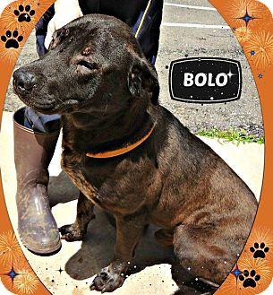 Labrador Retriever/Chow Chow Mix Dog for adoption in Benton, Arkansas - Bolo