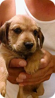 Dachshund/Schnauzer (Miniature) Mix Puppy for adoption in San Diego, California - Apollo