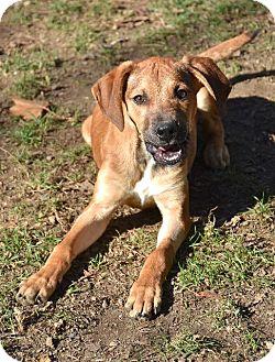 Labrador Retriever Mix Puppy for adoption in Danbury, Connecticut - Fudge