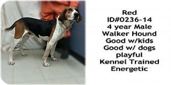 Treeing Walker Coonhound Dog for adoption in Greenville, Kentucky - RED