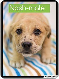 Dachshund/Beagle Mix Puppy for adoption in Spring Valley, New York - Nash (pom-cr)