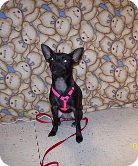 Chihuahua Dog for adoption in Sparta, Illinois - Molly