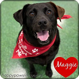 Labrador Retriever/Collie Mix Dog for adoption in South Plainfield, New Jersey - Maggie