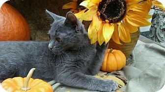 Domestic Shorthair Kitten for adoption in Barrington, New Jersey - Shelby