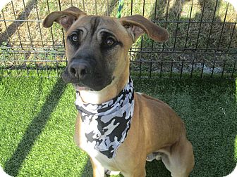 Black Mouth Cur Mix Dog for adoption in Cumming, Georgia - Barnaby