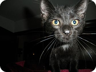 Domestic Shorthair Cat for adoption in Milwaukee, Wisconsin - Daytona