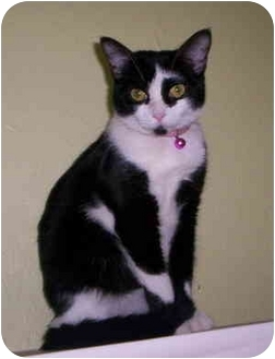 Domestic Shorthair Cat for adoption in Aledo, Illinois - Bessie
