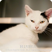 Adopt A Pet :: Bluebell - Appleton, WI