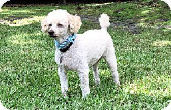 Miniature Poodle Dog for adoption in Melbourne, Florida - Kenai