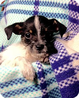 Terrier (Unknown Type, Medium)/Chihuahua Mix Puppy for adoption in Colton, California - ! Zoe